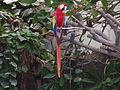 Ara macao -Oklahoma City Zoo-8a.jpg