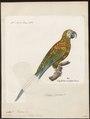 Ara severus - 1842-1855 - Print - Iconographia Zoologica - Special Collections University of Amsterdam - UBA01 IZ18500119.tif