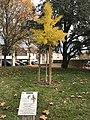 Arbre de la liberté, 70e anniversaire de la fin de la Seconde Guerre mondiale (Villefranche-sur-Saône) - 1.JPG