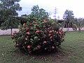 Arbusto en el Liceo de Chacarita - panoramio.jpg