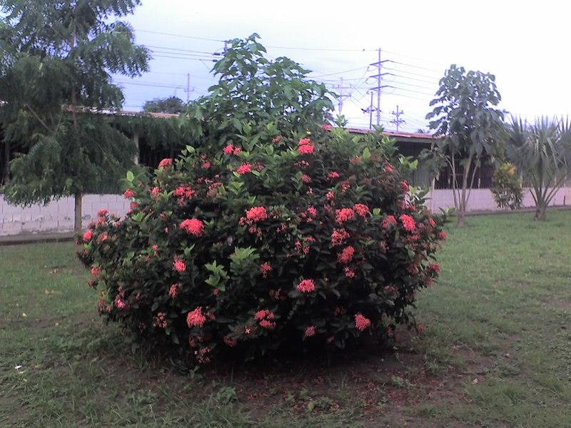 File:Arbusto en el Liceo de Chacarita - panoramio.jpg