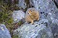 Arctic Ground Squirrel (5) - Spermophilus parryii (20860143824).jpg