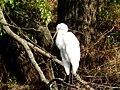 Ardea alba - Велика біла чапля - Большая белая цапля.jpg