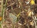 Argynnis pandora 20130828 1.jpg
