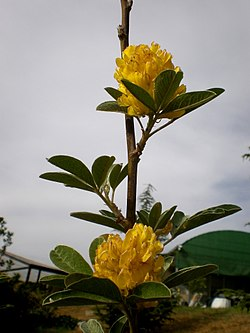 Argyrocytisus battandieri 1c.JPG