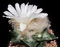 Ariocarpus retusus v. scapharostroides3-4546.jpg