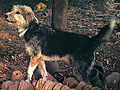 Armant dog, with some orange stuff and trees in background.jpg