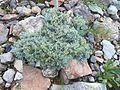 Artemisia nitida - Viote 01.jpg