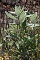 Artemisia suksdorfii 6618.JPG