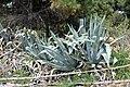 Asparagales - Agave americana - 4.jpg