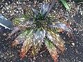 Asparagales - Aloe somaliensis - kew 2.jpg