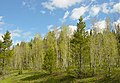 Aspen tree grove in Shoshone National Forest.jpg