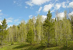 A grove of Quaking Aspen and Lodgepole Pine in the spring.