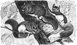 Glaucomys volans