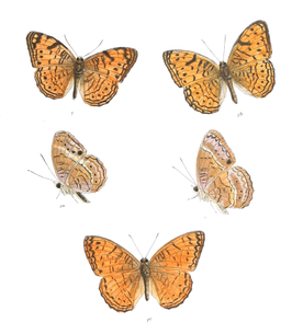 AtellaAlcippoides 361 1.png