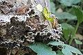 Auricularia mesenterica 100508507.jpg