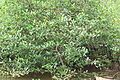 Avicennia officinalis 1.jpg