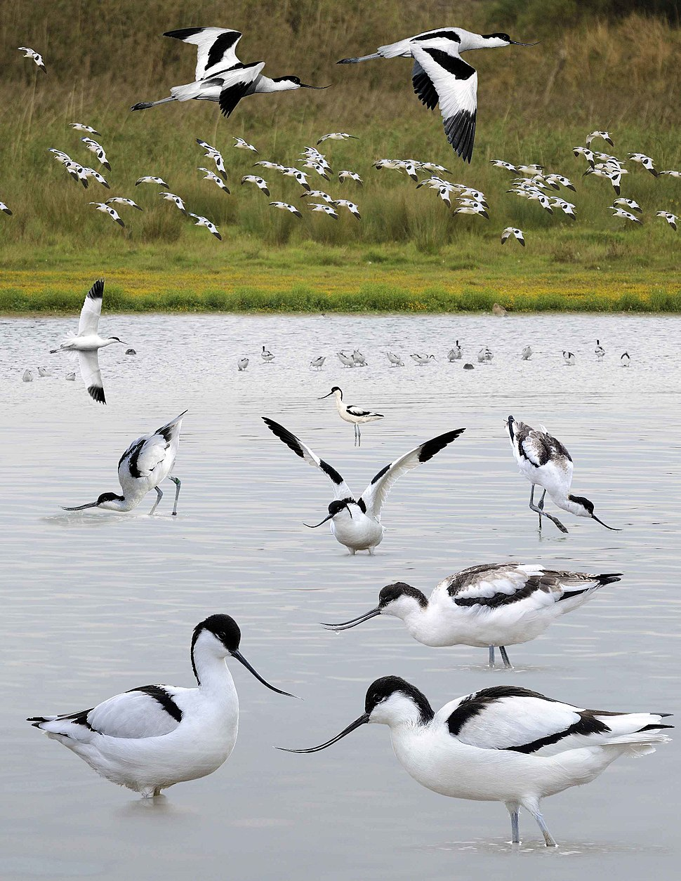 Avocet from the Crossley ID Guide Britain and Ireland