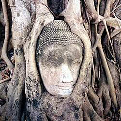 Buddha head overgrown by fig tree in Wat Mahatat, Ayutthaya historical park