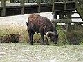Bélier (Rams) (3).jpg