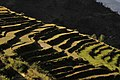 BANCALES DE ARROZ EN LANDRUK - panoramio.jpg