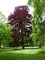 BE Fagus sylvatica f. purpurea 2.JPG