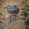 Baby Seagull (9225598327).jpg