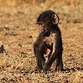Baby baboon, Pilanesberg (37523526506).jpg