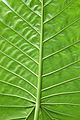 Back Of Leaf @ Botanical Gardens (1915121475).jpg