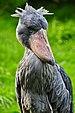 Balaeniceps rex - Weltvogelpark Walsrode 09-2010.jpg