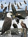 Bald eagle From The Crossley ID Guide Eastern Birds.jpg