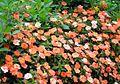 Balsam flowers 10.JPG