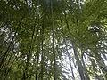 Bamboo bambou bambuseae phyllostachys VAN DEN HENDE ALAIN CC-BY-SA-4 0 210520142038 02.jpg