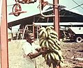 Banana harvest jarikaba.jpg