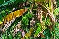 Banana leaves and fruits.jpg