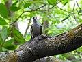 Banded bay cuckoo (ചെങ്കുയിൽ ) - 10.jpg