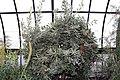 Banksia serrata 10zz.jpg