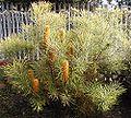 Banksia spinulosa collina Carnarvon Gold.jpg