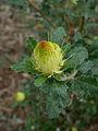 Banksia undata 9.JPG