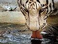 Bannerghatta National Park - Panthera tigris.jpg