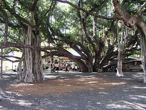 English: A banyan tree in Lahaina HI. Русский:...
