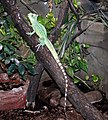 Basiliscus plumifrons Dvur zoo 1.jpg