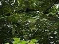 Bauhinia malabarica (6188013982).jpg