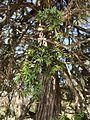 Baumwacholder im Friedergries im NSG Ammergebirge IMG 5449.JPG
