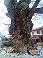 Bayirköy Cinari - panoramio.jpg