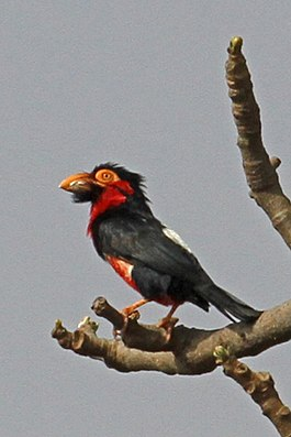 Bearded Barbet, Gambia (10888390583).jpg
