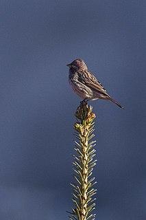 Himalayan beautiful rosefinch species of bird