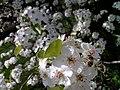Bee - panoramio - taboo8614.jpg