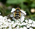Bee Fly. Villa cingulata Bombylidae - Flickr - gailhampshire (1).jpg
