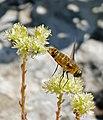 Bee Fly (Villa hottentotta) (35633186292).jpg